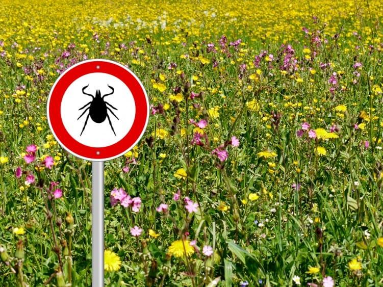 Lyme Disease tick in meadow